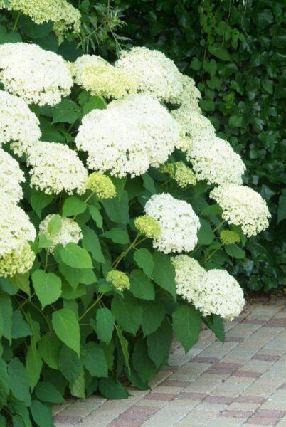 Hortensia en canteros arbusto con flor para sombra