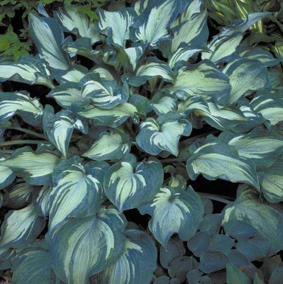 Hosta plantas para sombras