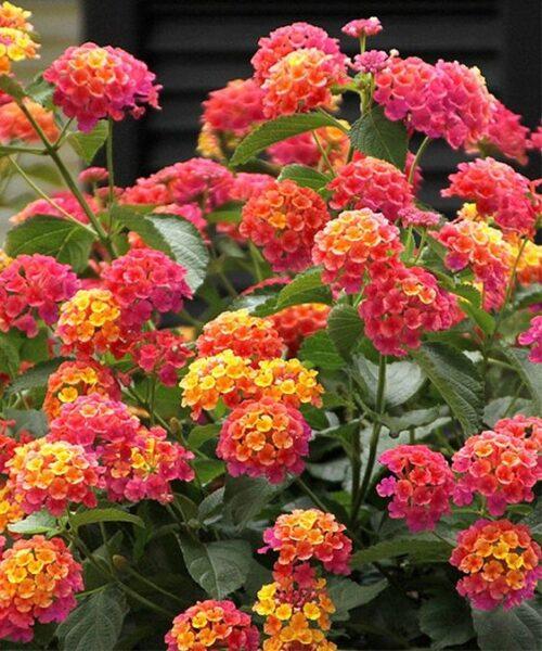 Lantana planta colgante con flor de exterior para sol