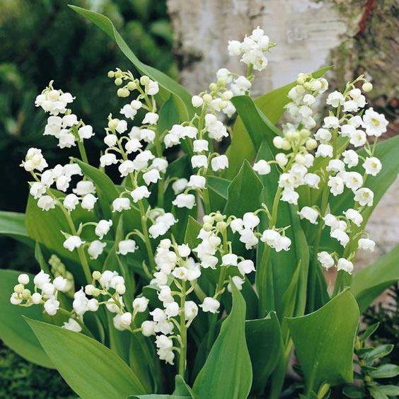 Lirios del valle plantas perfumadas