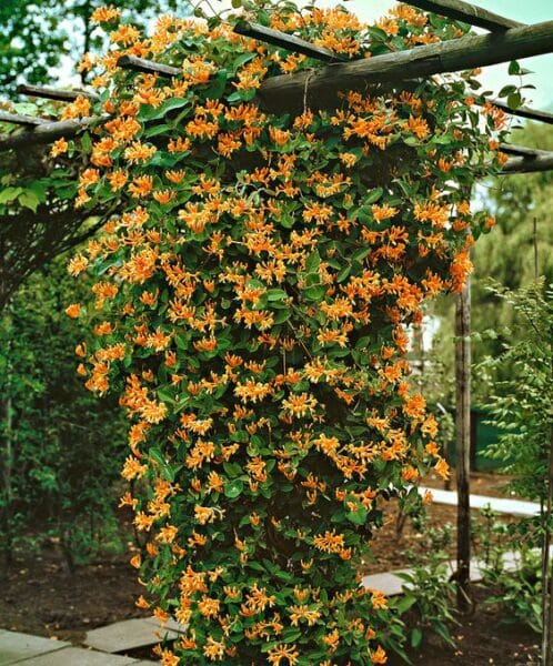 Madreselva naranja planta trepadora