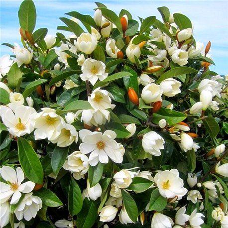 Magnolia Arbol o arbusto con flores perfumadas