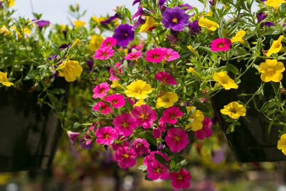 Million Bells planta colgante con flor de exterior para sol