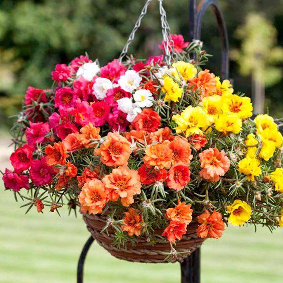 Moss Rose planta colgante con flor de exterior para sol