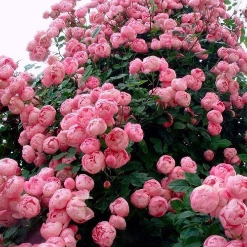 Peonía planta con flores con olor