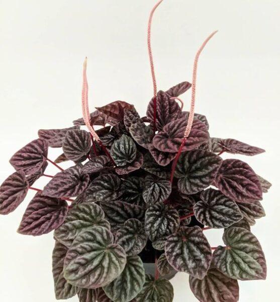 Peperomia ondulada planta colgante para interior