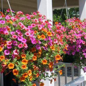 Petunias planta colgante con florde exterior para sol