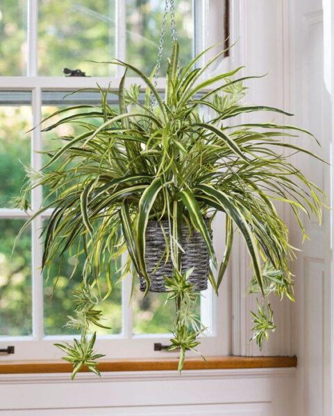 Planta de araña planta colgante para interior