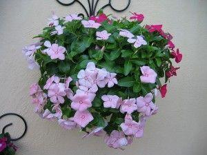 Vinca planta colgante con florde exterior para sombra