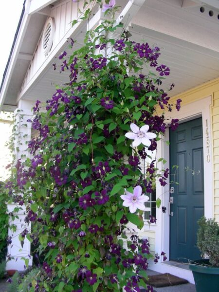 clemátide planta trepadora con flores violeta
