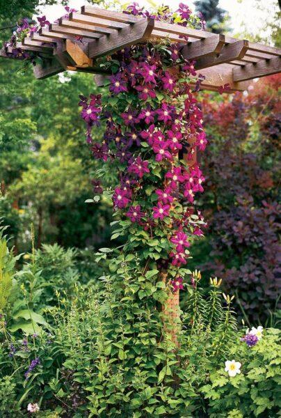 clemátide trepadora con grandes flores