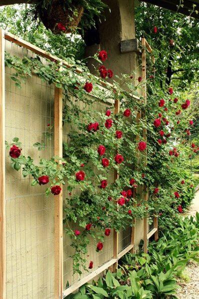 decorar muro de jardin con rosa trepadora