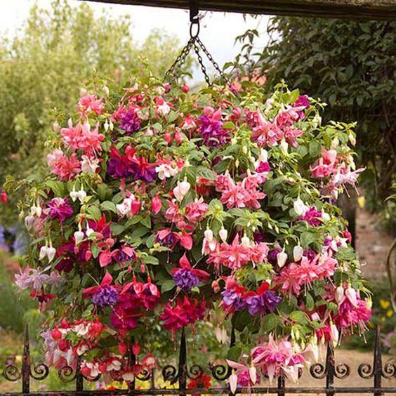 fucsia pendientes de la reina planta colgante con florde exterior para sombra