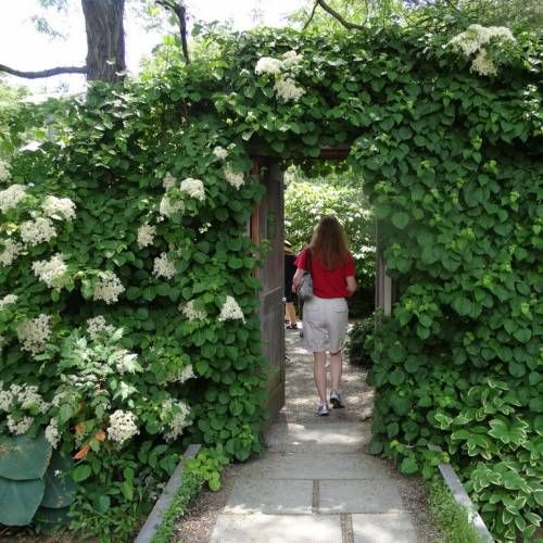 hortensia trepadora en muro