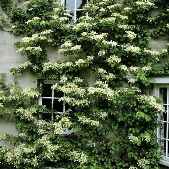 hortensia trepadora para pared