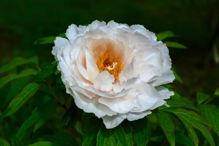 peonía herbácea blanca