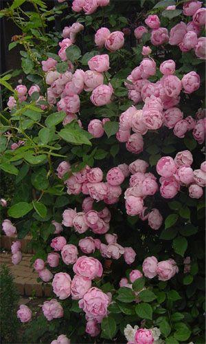 peonía herbácea rosa claro