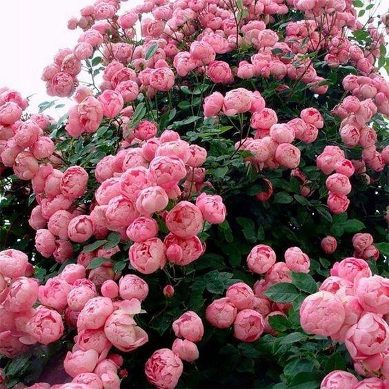 peonía herbácea rosada