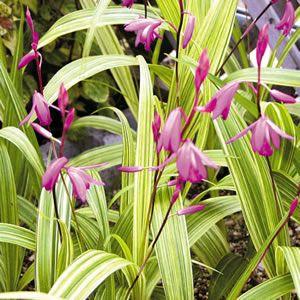 planta con flor para sombra Bletilla