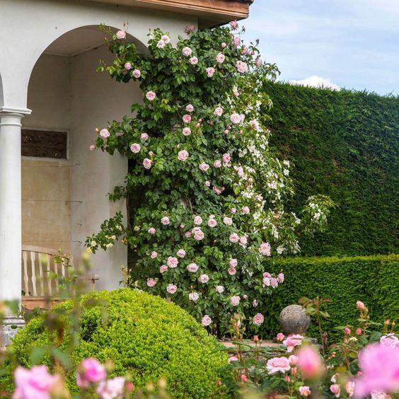 rosa trepadora rosada Generous Gardener