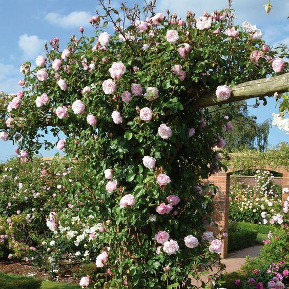 rosas trepadoras Generous Gardener