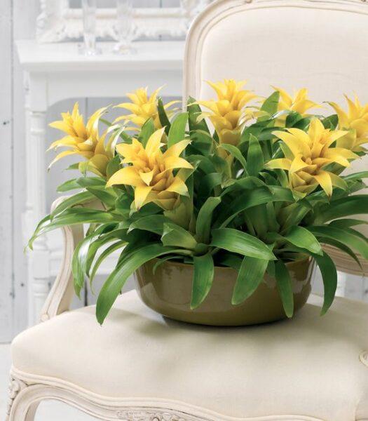 Guzmania con flor amarilla