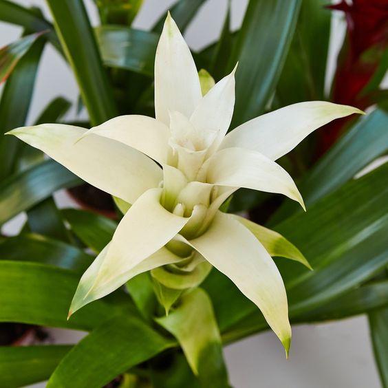 Guzmania con flor blanca
