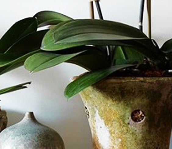 Hojas la orquidea