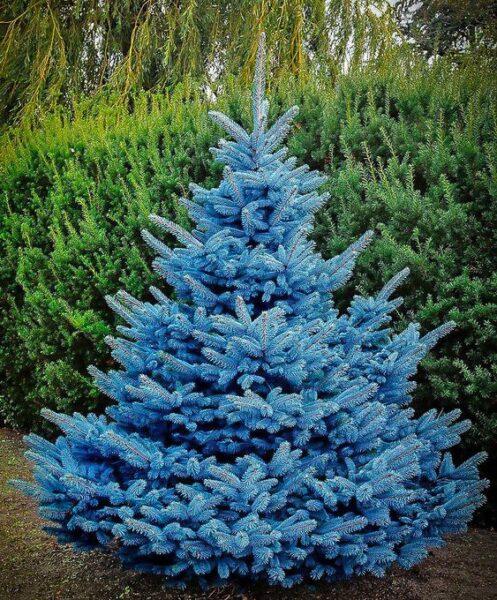 Abeto Azul plantas ornamentales de invierno