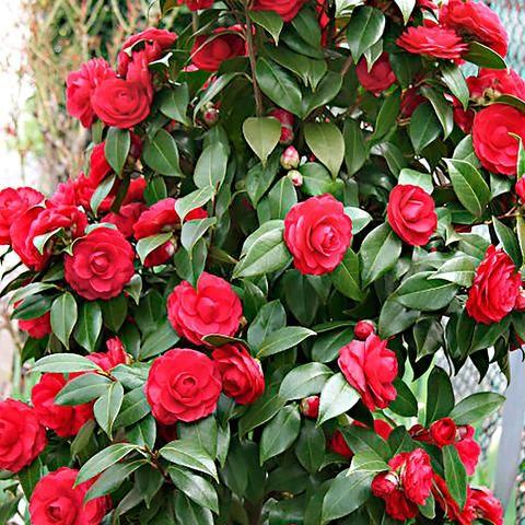 Camelias flores de otono invierno