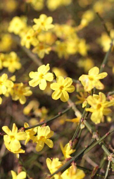 Jazmin amarillo de invierno