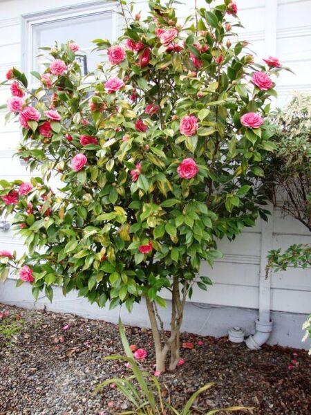 arbol pequeno con camelias rosadas