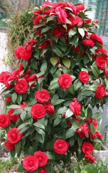 arbusto con camelias rojas