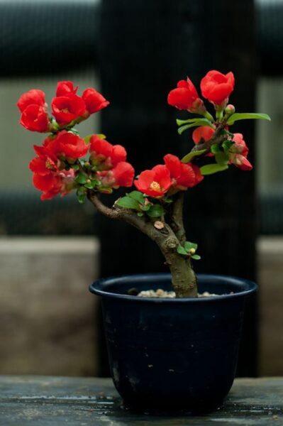 bonsai de camelia roja simple