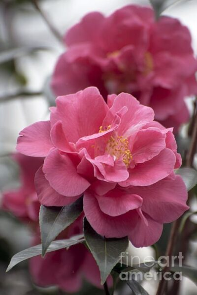 camelia rosa chicle