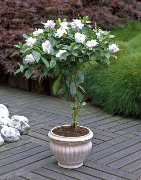maceta con camelias blancas