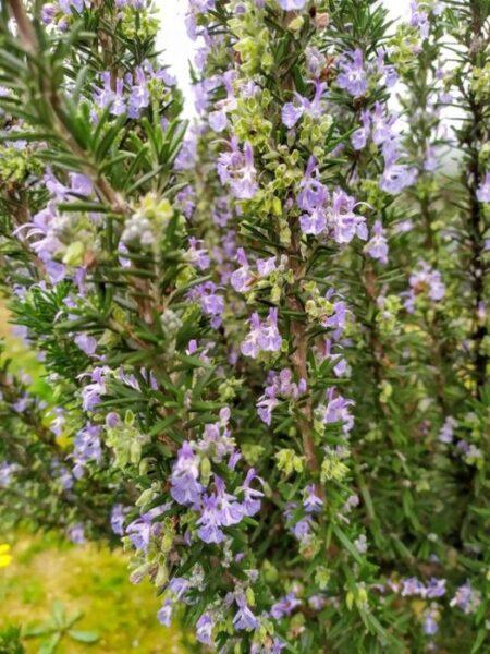planta de romero florecida